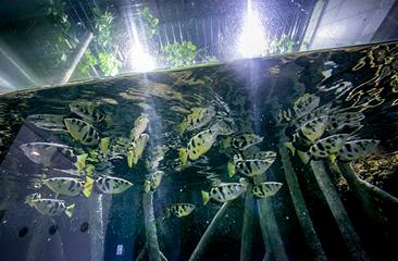 Archer Fish Tank | Miyajima Public Aquarium
